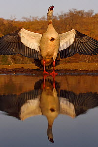 Egyptian goose (Alopochen aegyptiacus) with wings spread at water, Zimanga Private Nature Reserve, KwaZulu Natal, South Africa  -  Staffan Widstrand