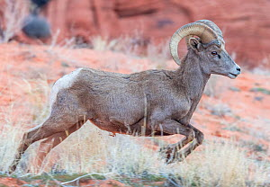 Bighorn sheep (Ovis canadensis) male running, Valley of Fire State Park, Great Basin Desert, Nevada, USA.  -  Jack Dykinga