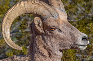 Bighorn sheep (Ovis canadensis) male heaD portrait, Valley of Fire State Park, Great Basin Desert, Nevada, USA.  -  Jack Dykinga