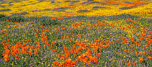 Flowering Goldfields (Lasthenia californica) and California poppies (Eschscholzia californica) with Gilia flowers intermixed. Antelope Valley California State Poppy Reserve, Antelope Buttes, Mojave De...  -  Jack Dykinga