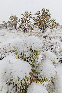 Cima Dome Joshua tree forest in a late-season blizzard. Joshua trees (Yucca brevifolia) and Mojave yuccas (Yucca schidigera) covered in a heavy blanket of snow. Mojave Natural Preserve, Mojave Desert,...  -  Jack Dykinga
