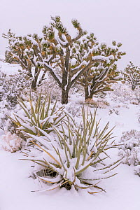 Joshua trees (Yucca brevifolia) and Mojave yuccas (Yucca schidigera) are drapped by a heavy blanket of snow.  California. Mojave Natural Preserve, Mojave Desert, Cima Dome Joshua tree forest in late s...  -  Jack Dykinga