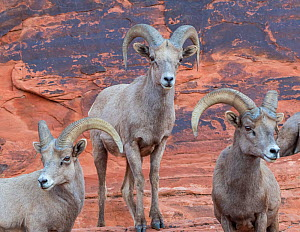 Bighorm sheep (Ovis canadensis) males grouped together before the rutting season. Valley of Fire State Park, Nevada, USA, February.  -  Jack Dykinga
