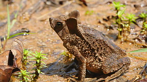 Slow motion clip of a Crested forest toad (Rhinella margaritifera) leaping, Orellana Province, Ecuador, 2018. (non-ex) - Morley Read