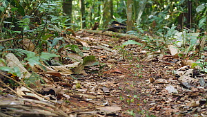Column of Leaf cutter ants (Atta) carrying cut pieces of leaves along the forest floor towards therr nest, Orellana Province, Ecuador, 2018. (non-ex)  -  Morley Read