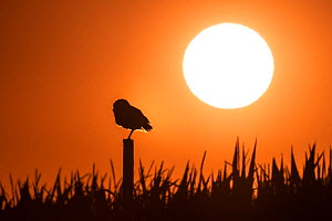 Burrowing owl (Athene cunicularia) perched on post, silhouetted at sunset. Marana, Arizona, USA. June. - Jack Dykinga