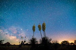 Soaptree yucca (Yucca elata) flowering at night, under starry sky. Cochise Stronghold, Dragoon Mountains, Coronado National Forest, Arizona, USA. June.  -  Jack Dykinga