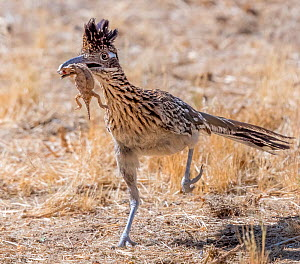 Greater roadrunner (Geococcyx californianus) running to feed brood with Lizard prey in beak. Catalina State Park, Sonoran Desert, Arizona, USA. June.  -  Jack Dykinga