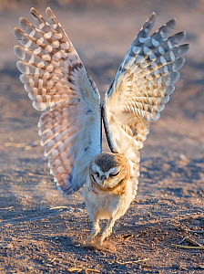 Burrowing owl (Athene cunicularia) chick aged ten weeks practicing hunting through pouncing on Cricket. Marana, Arizona, USA. July.  -  Jack Dykinga