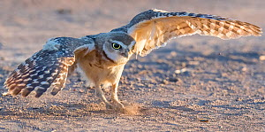 Burrowing owl (Athene cunicularia) aged ten weeks practicing hunting through chasing crickets and dragonflies. Marana, Arizona, USA. July.  -  Jack Dykinga