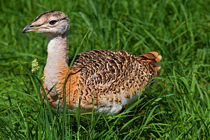 Great Bustard (Otis tarda) chick in rearing pen, Salisbury, Wiltshire, England, UK, July. - David  Woodfall