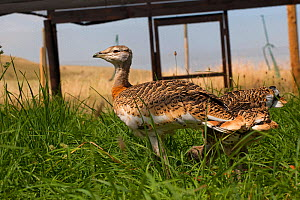Great Bustard (Otis tarda) chicks in rearing pen. Salisbury, Wiltshire, England, UK, July 2017. - David  Woodfall