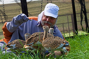 Great Bustard chicks (Otis tarda) fed by man dressed as a surrogate with a puppet hand, Salisbury, Wiltshire, England, UK, July 2017.  -  David  Woodfall
