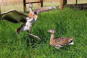 Great Bustard chicks (Otis tarda) in enclosure during reintroduction, Salisbury, Wiltshire, England, UK, July. - David  Woodfall