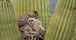 Great horned owl (Bubo virginianus) chick moving around in nest in a Saguaro (Carnegiea gigantea), with parent nearby, Sonoran Desert, Arizona, USA, May.  -  John Cancalosi
