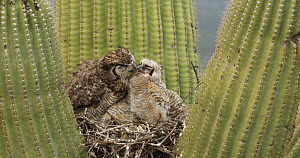 Great horned owl (Bubo virginianus) chick stretching its wings in nest in a Saguaro (Carnegiea gigantea), is groomed by its parent, Sonoran Desert, Arizona, USA, May. - John Cancalosi