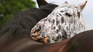 Slow motion clip of a female Appaloosa horse grooming a male, Bristol, England, UK, May.  -  Ben Gillett