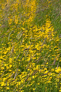 Corn marigold (Chrysanthemum segetum) growing amongst Black oats (Avena strigosa) in strips of cultivated machair, North Uist, Outher Hebrides, Scotland, UK, July.  -  David  Woodfall