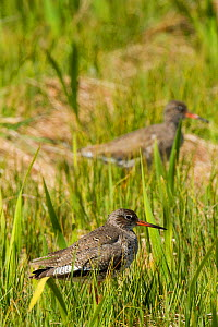 Redshank (Tringa totanus) in machair marsh, North Uist, Scotland, UK, June.  -  David  Woodfall