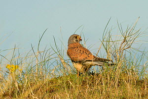 Kestrel (Falco tinnunculus) male in sand dunes having just killed Ringed plover (Charadrius hiaticula) North Uist, Scotland, UK, June.  -  David  Woodfall
