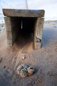 Little Tern chick (Sterna albifrons) and unhatched egg sheltering alongside box put out to offer protection from predators. Denbighshire, Wales, UK, June. - David  Woodfall