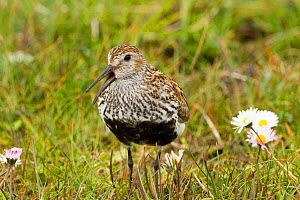 Dunlin (Calidris alpina ) North Uist, Outer Hebrides, Scotland, UK, June.  -  David  Woodfall
