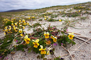Seaside pansy (Viola tricolor curtisii) growing on cultivated machair North Uist, Outer Hebrides, Scotland, UK, June.  -  David  Woodfall