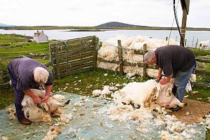 Hand shearing sheep for wool used in tweed and other textiles, North Uist, Outer Hebrides. Scotland, UK, July 2016.  -  David  Woodfall
