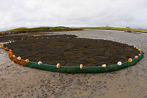 Seaweed collected in boom at low tide, used in pharmaceutical industry products. North Uist, Outer Hebrides. Scotland, UK, July 2016.  -  David  Woodfall