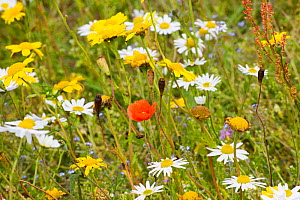 Corn marigold (Chrysanthemum segetum), Scentless mayweed (Tripleurospermum inodorum) and Poppy (Papaver rhoeas) growing amongst Black oats (Avena strigosa) Borve, Lewis, Scotland, July.  -  David  Woodfall