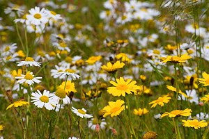 Corn Marigold (Chrysanthemum segetum) and Scentless mayweed (Tripleurospermum inodorum) machair habitat, North Uist, Scotland, UK, July. - David  Woodfall