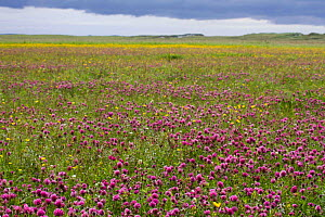 Red clover (Trifolium pratense) sward in machair habitat, North Uist, Outer Hebrides, Scotland, UK, July.  -  David  Woodfall