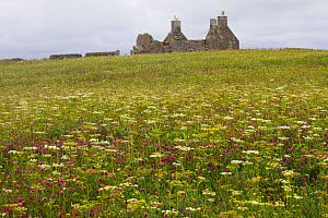 Red clover (Trifolium pratense) sward and Hogweed (Heracleum sphondylinium) at abandoned croft. North Uist, Outer Hebrides, Scotland, UK, July 2016.  -  David  Woodfall