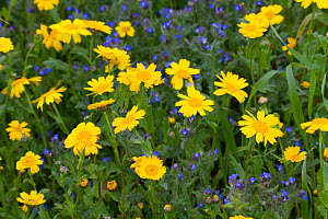 Corn Marigold (Chrysanthemum segetum) and Bugloss (Echium vulgare) in strips on machair. North Uist, Outer Hebrides, Scotland, UK, July. - David  Woodfall