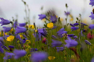 Harebells (Campanula rotundifolia) with Buttercups (Ranunculus acris) and red clover (Trifolium pratense) growing on machair, North Uist, Outer Hebrides, Scotland, UK, July.  -  David  Woodfall