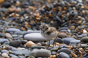 Ringed Plover (Charadrius hiaticula) chick walking out from nest on shingle on strandline looking for food .  -  David  Woodfall