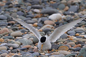 Little Tern (Sterna albifrons) arriving at the nest on pebble shingle after fishing for sand eels, County Wicklow, Ireland, June. - David  Woodfall