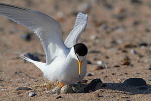 LIttle tern (Sterna albifrons ) arriving at the nest on beach. County Wicklow, Ireland, June. - David  Woodfall