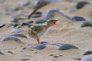 Little tern chick (Sterna albifrons) four days after hatching, waiting for parents to feed it with sand eels and small fish, County Wicklow, Ireland, July. - David  Woodfall