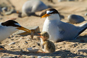 Little tern (Sterna albifrons ) feeding sand eel (Hyperoplus spp) to young chick. Gronant Dunes, Denbighshire, Wales, UK, June. - David  Woodfall