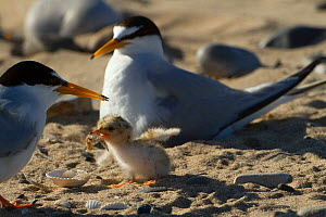 Little terns (Sterna albifrons ) feeding sand eel (Hyperoplus spp) to young chick. Gronant Dunes, Denbighshire, Wales, UK, June. - David  Woodfall