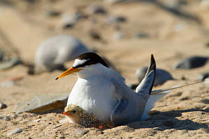 Little tern (Sterna albifrons ) with newly hatched chick, Gronant Dunes, Denbighshire, Wales, UK, June. - David  Woodfall