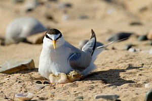 Little tern (Sterna albifrons ) with newly hatched chick, feeding sand eel-Hyperoplus spp.Indicator of climate change as Little terns are only able to feed in top layer of sea water , and as sea warms... - David  Woodfall