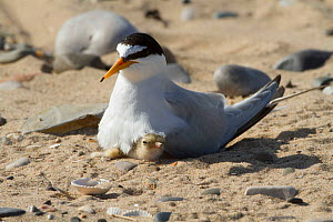 Little tern (Sterna albifrons) with newly hatched chick, Gronant dunes, Denbighshire, Wales, UK, June.  -  David  Woodfall