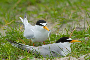 Two little tern (Sterna albifrons), one with sand eel landing at the nest amongst Black Oats growing on shell rich sands Machair , Indicator bird of climate change because of its dependence on sand ee... - David  Woodfall