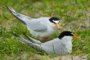 Two Little terns (Sterna albifrons) at the nest amongst Black oats (Avena strigosa) growing on shell rich sands Machair, North Uist, Scotland, UK, June.  -  David  Woodfall