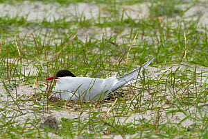 Arctic tern (Sterna paradisaea ) at the nest amongst Black oats (Avena strigosa) in cultivated machair. North Uist, Scotland, UK, June.  -  David  Woodfall