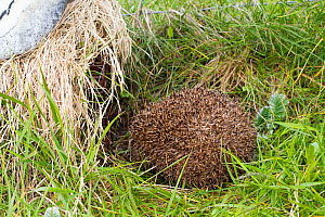 Hedgehog (Erinaceus europaeus) about to enter hedgehog trap put there by Scottish Natural Heritage scientists to catch and remove introduced mammal from The Uists. Scotland, UK, June.  -  David  Woodfall
