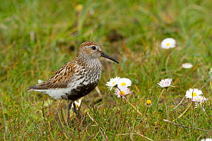 Dunlin (Calidris alpina) small wader with young in machair. North Uist, Scotland, UK, June. - David  Woodfall