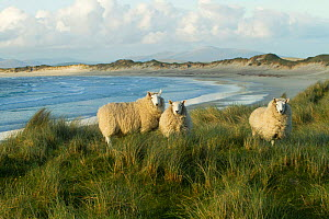 Cheviot sheep grazing eroding machair at front of sand dunes, North Uist, Scotland, UK, June.  -  David  Woodfall